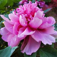 Cai Hui Pink Beautiful Garden Chinese Tree Peony Flower