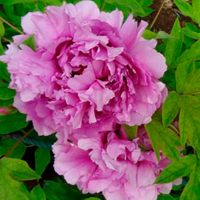 Fu Gui Man Tang Blue Beautiful Garden Chinese Peony Bare Root