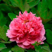 Juan Ye Hong Red Charm Chinese Tree Peony for Garden