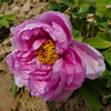Lu He Hong Red Gorgeous Paeonia Suffruticosa Peony for Decoration