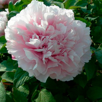 Xue Ying Tao Hua Pink Wholesale Chinese Tree Peony