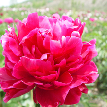 Da Fu Gui Purple Herbaceous Peony Bare Root for Backyard