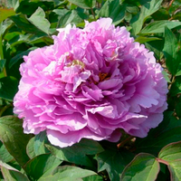 Ling Hua Zhan Lu Purple Charm Chinese Tree Peony Nursery