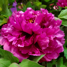 Zi Er Qiao Moist Rose Purple Chinese Peony Seedlings