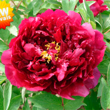 Zhu Guang Mo Run Black Garden Decor Chinese Peony Flower