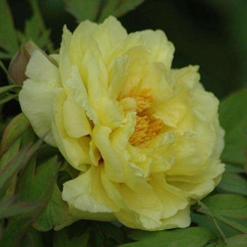 What Are Four Famous Precious Peonies?