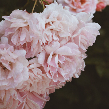 The Cultivation of Peony in History