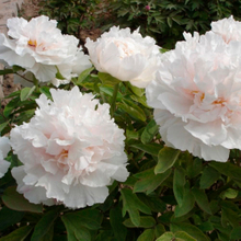 Bai Xue Ta White Quality Chinese Large Peony Bare Foot