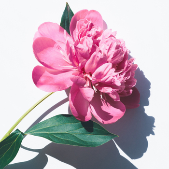 What is Herbaceous Peony?