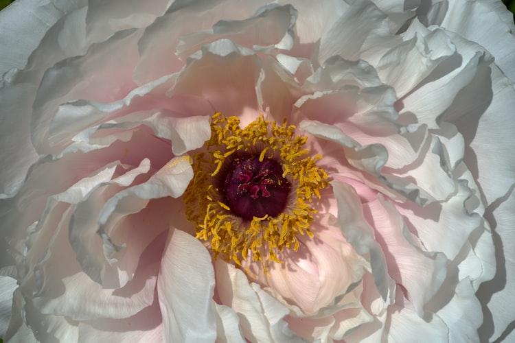 The Controversy of peony as Chinese National Flower