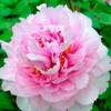 Cun Song Ying Pink Wholesale Japanese Garden Peony