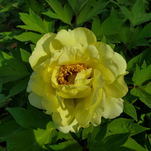 High Noon Yellow Fragrant Japanese Peony Plant
