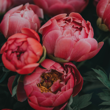 Are Herbaceous Peonies Medicinal?
