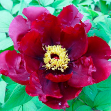 Chu Wu Balck Single Form Japanese Peony Plant