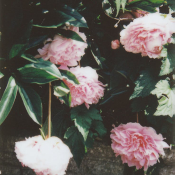 What Do Peonies Symbolize?