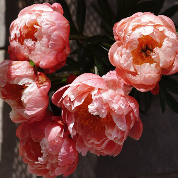 Tree Peony is One of Ten Famous Precious Flowers in China