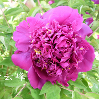 Zi Yun Feng Purple Delighful Park Paeonia Tree