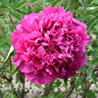 Ai Hong Xiu Qiu Red Pretty Landscape Tree Peony Root