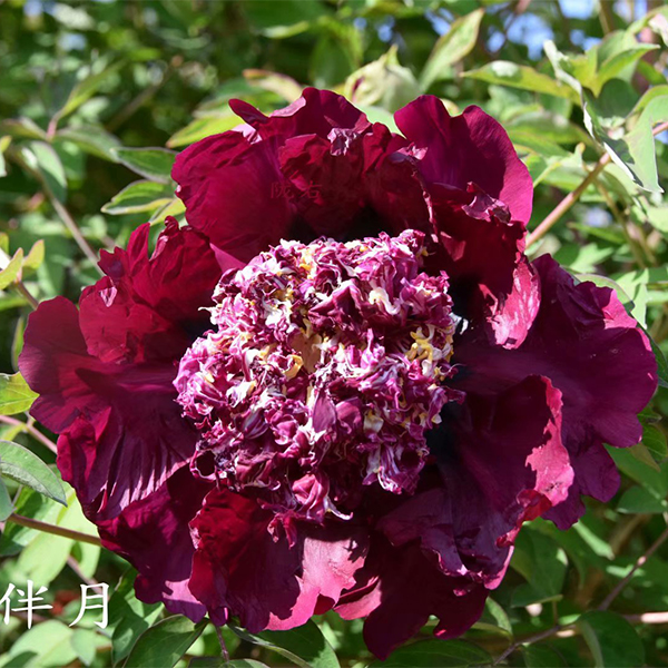 Zi Ju Ban Yue Purple Delighful Balcony Mountain Tree Peony