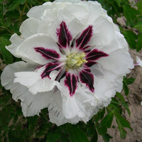 Pan Deng White Delighful Garden Tree Peony