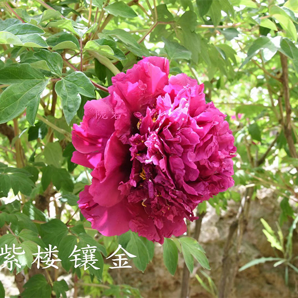 Zi Lou Xiang Jin Purple Delighful Balcony Tree Peony
