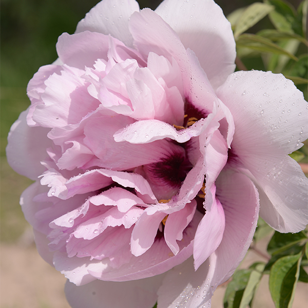Fen Xi Shi Pink Graceful Park Tree Peony Bare Root