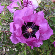 Qing Hua Yan Blue Charming Garden Tree Peony Bare Root