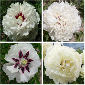 Hot-sale Fine Grafted Big Tree Peony