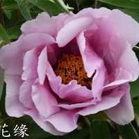 Tao Hua Yuan Pink Graceful Garden Mountain Tree Peony